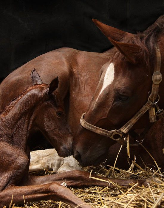 The Equilume Light Masks Helps Pregnant Mares Foal on Time with Optimum Birth Weights